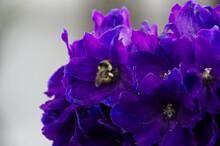 Bee On A Delphinium