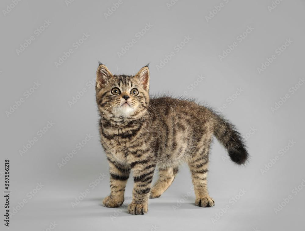 Cute tabby kitten on light grey background. Baby animal