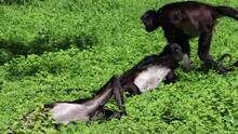 Geoffroy's Spider Monkey Relax...