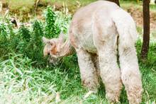Alpaca Grazing On Meadow