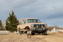 Dog Standing In Front Of Truck On Sunny Farm