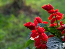 A Close Up Of Red Celosia Flowers With Copy Space Background Or Wallpaper