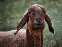 A Goat Smiling While Eating So...