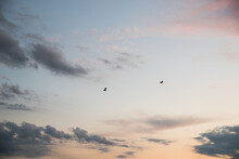 Herons Fly In The Evening Sky.