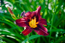 Day-lily Flower Outdoor. Purple Lily Flower. Blooming Lily In Green Garden. Purple Flowers Of Day Lily In Garden. In My Organic Garden. Flower Cultivated Garden Plant. Blooming Bright Plant. Lilium