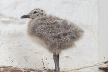 Portrait Of A Baby Seagull On ...
