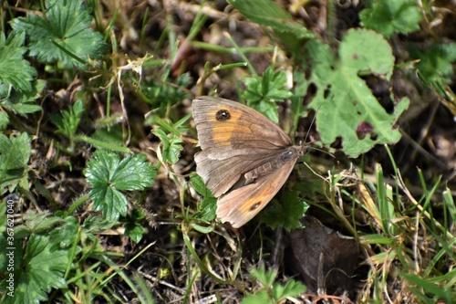 Fototapeta A female meadow brown butterfly occurs in UK parks gardens cemeteries in summer