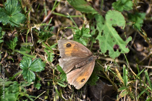 Obraz na plátně Female meadow brown butterfly occurs in UK parks gardens cemeteries summertime