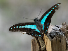 Blue Triangle Butterfly (Graph...