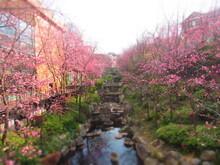 Cherry Blossoms In Dali, China.