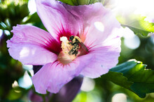 Bumble Bee On Rose Of Sharon T...