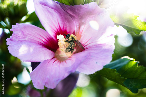 Photo Bumble bee on Rose of Sharon tree