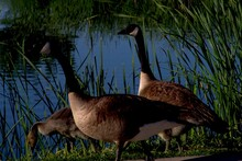 Canada Geese Pairs And Downy G...