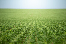 Soy Crop Field Row Close Up Sh...