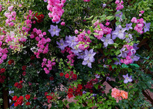 Roses And Clematis On The Perg...