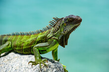 Green Iguana, Also Known As Th...