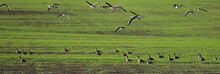 Geese Spring Migratory Birds In The Field, Spring Landscape Background