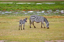 Zebra Foal Grazing With Its Mother In Savannah, Amboseli National Park, Kenya