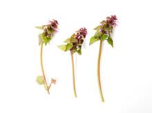 Lamium Purpureum,red Dead-nett...