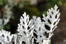 Leaves Of Silver Ragwort Plant