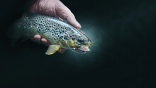 Beautiful Brown Trout Caught O...