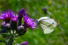 White Butterfly On Purple This...