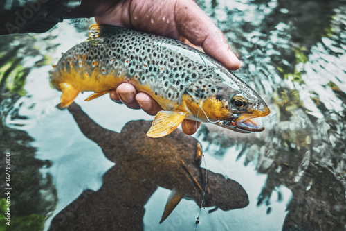 Photo Beautiful brown trout caught on the fly.