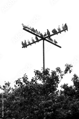 Photo Thoroughbred, sporting bird pigeons sit on a crossbar perch in the form of a cross against the background of a light sky, dark silhouettes