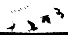 Northern Lapwing Take Off In F...