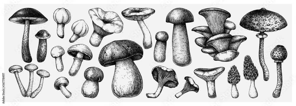 Fototapeta Edible mushrooms vector illustrations collection. Hand-drawn food drawings. Forest plant sketches. Perfect for recipe, menu, label, icon, packaging,