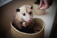 The Virginia Opossum, Didelphi...