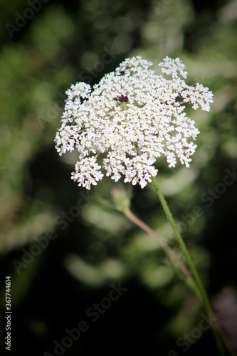 Fotografie, Obraz Close up blooming wild carrot plant (Daucus carota / Queen Anne's lace) with sunrise in background