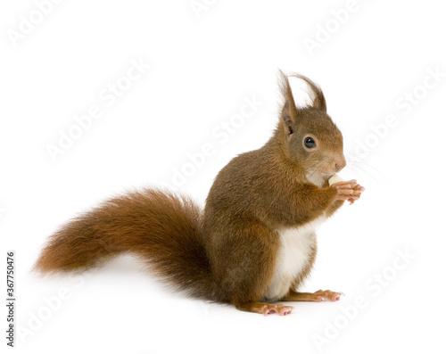 Foto Esquilo segurando algo isolado em fundo branco.