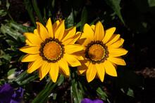 Two Big Yellow Gazania Flowers, Popular Yellow Garden Flowers For Outside