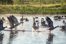 Some Canada Geese Taking Off F...