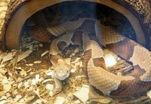 Closeup Shot Of A Venomous Copperhead Snake At A Zoo