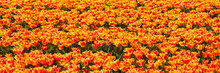 Colorful Orange Tulip Fields In Netherlands, Amsterdam Area. Endless Beautiful Fields, Millions Of Flowers, Agricultural Business, Ecological Environment, Natural Beauty. Seasonal Sightseeing. Banner