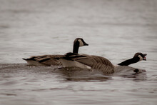 Colour Wildlife Photograph Of Canadian Geese Swimming In Lake Ontario On A Clear Summer Day In Kingston, Ontario Canada.