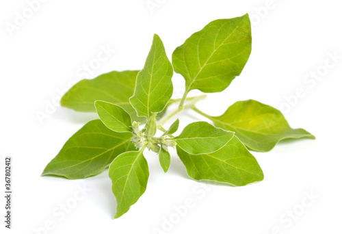 Cuadros en Lienzo Withania somnifera, known commonly as ashwagandha, Indian ginseng, poison gooseberry, or winter cherry