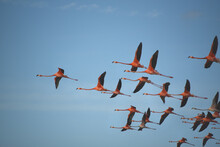 BIRDS- Bahamas- Close Up Of Flying Flamingos