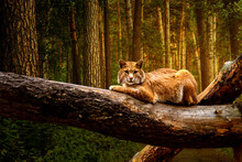 Wild Cat In A Pine Forest, Beautiful Background