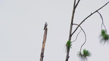 Mississippi Kite Bird Perched High On A Dead Pine Tree