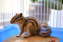 Baby Cute Siberian Chipmunk Or Siberian Squirrel (Eutamias Sibiricus) In A Cage At Home. Animal And Pet At Home Concept. Close Up, Selective Focus