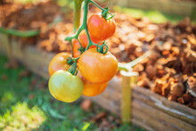 Fresh Red Ripe Tomatoes Hangin...