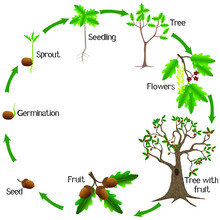Life Cycle Of A Oak Tree On A ...
