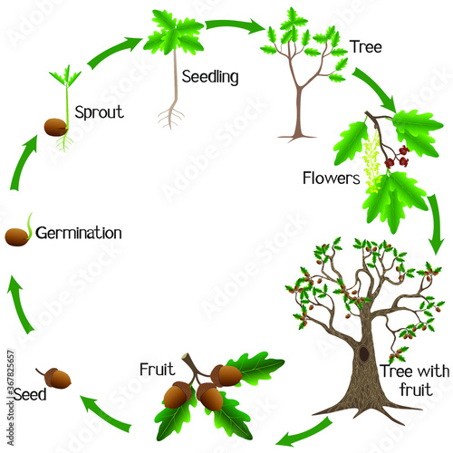 Life cycle of a oak tree on a white background. Wallpaper Mural