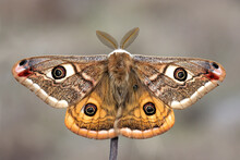 Small Emperor Moth (Saturnia Pavonia) Is A Moth Of The Family Saturniidae, Macro Photo.