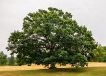 Beautiful Oak In Roger William...
