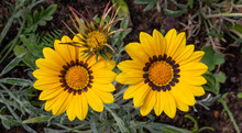 Close-up Photo Of Two Beautiful Yellow Garden Flowers Gazania Gazania Linearis In A Flower Bed In The Park.
