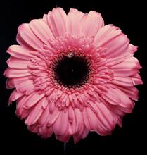 Pink Gerber With Water Drop